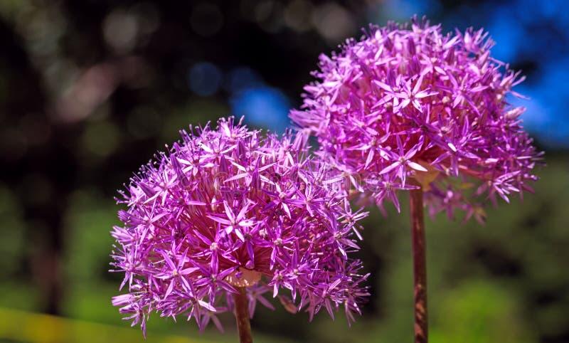 Flor persa púrpura atractiva de la cebolla en primavera Allium Cristop imágenes de archivo libres de regalías