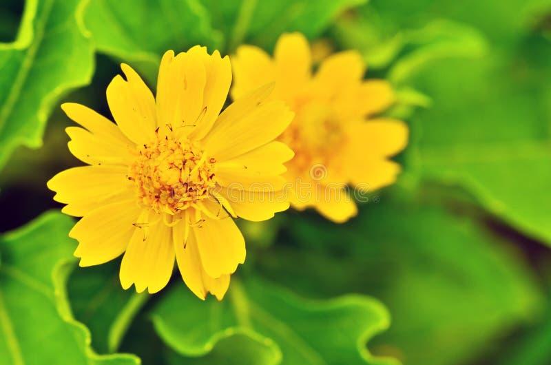 Flor, pinzas de Dok Bua fotografía de archivo libre de regalías