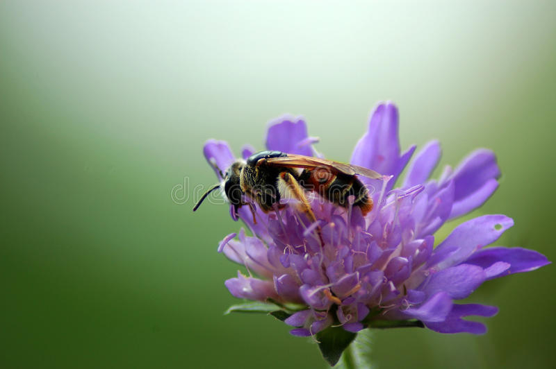 Flor pollinating da abelha imagem de stock royalty free