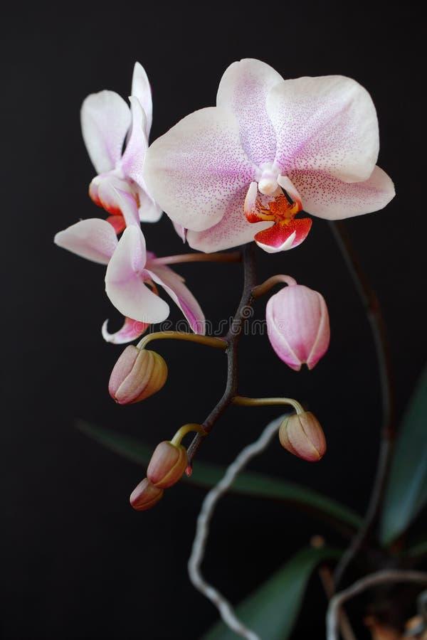 flor pontilhada Cor-de-rosa-branca do orchidaceae da orquídea no fundo preto fotos de stock