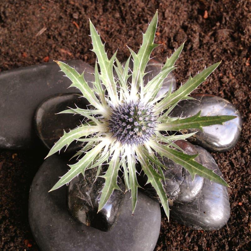 Flor pontudo do Eryngium com pedras fotos de stock