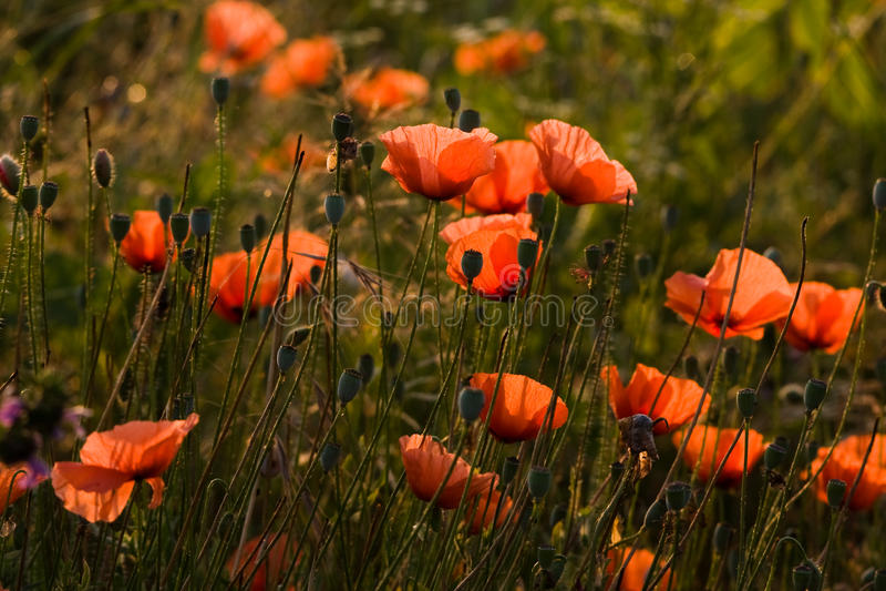 A flor popy foto de stock royalty free