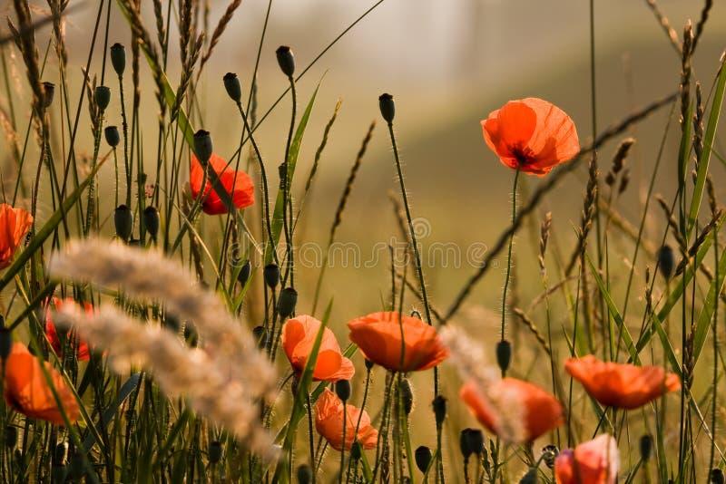 A flor popy imagem de stock royalty free