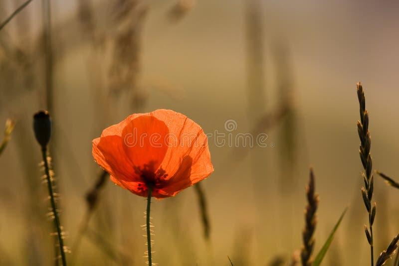 A flor popy foto de stock
