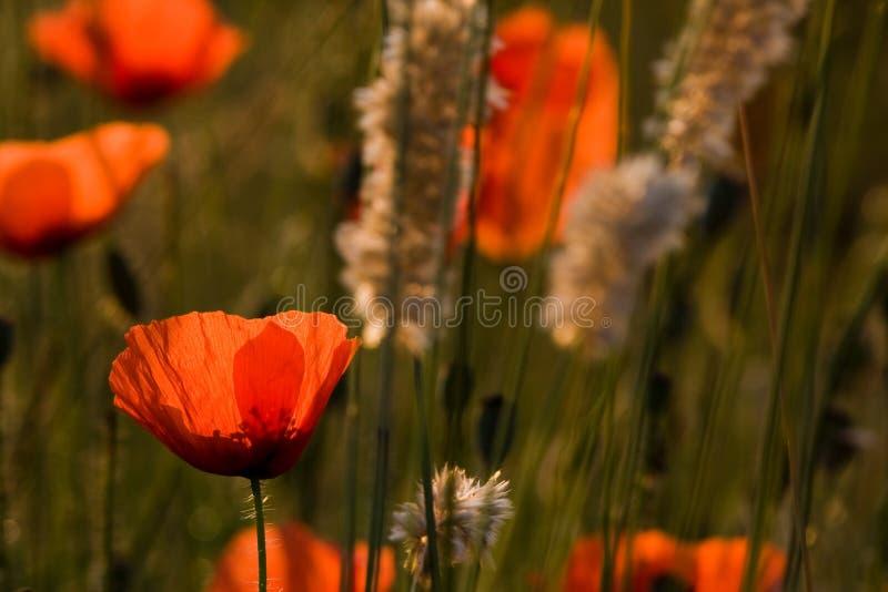 A flor popy fotografia de stock royalty free