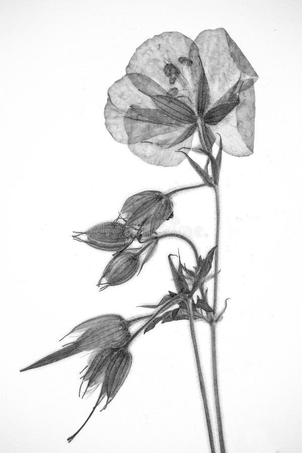 Flor presionada en blanco y negro imagenes de archivo