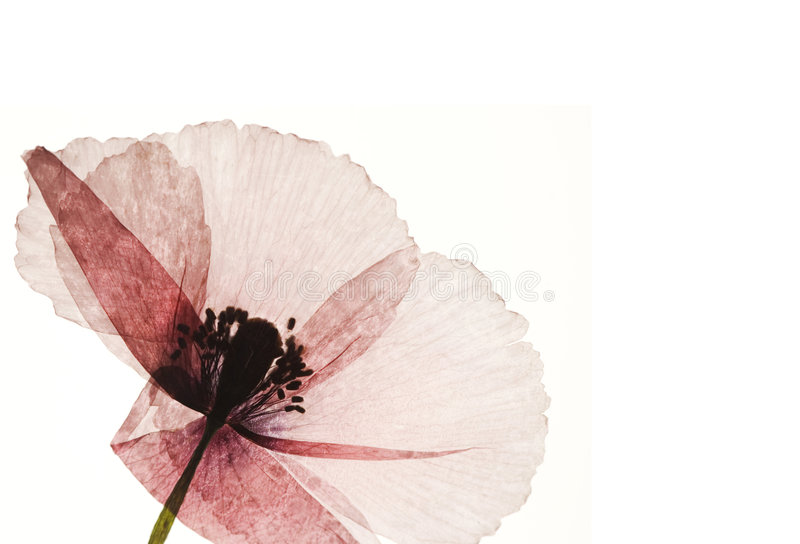 Flor pressionada da papoila fotografia de stock royalty free