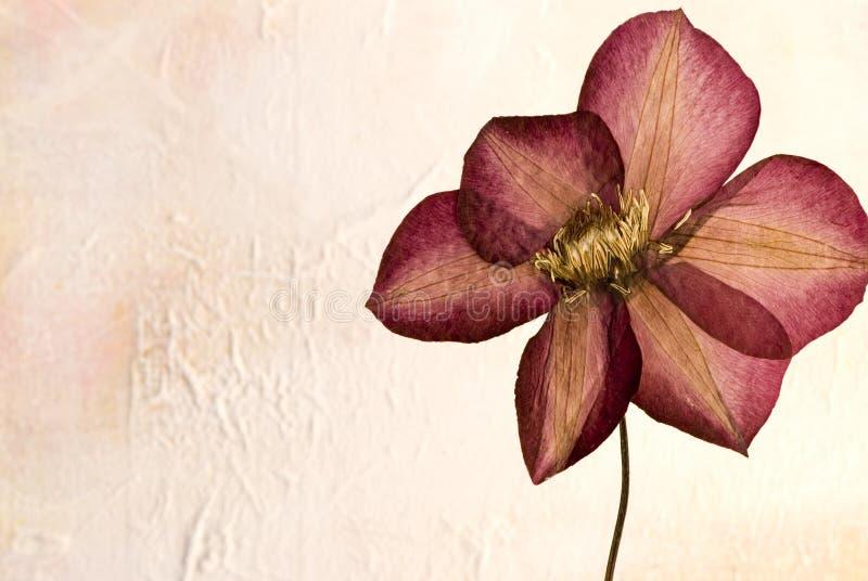 Flor pressionada do clematis fotografia de stock