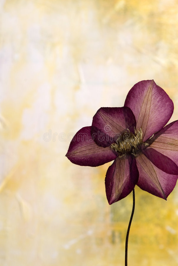 Flor pressionada do clematis ilustração stock