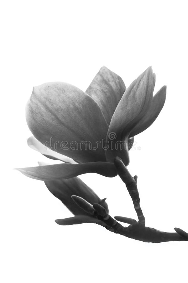 Flor preto e branco da magnólia isolada no fundo branco imagens de stock royalty free
