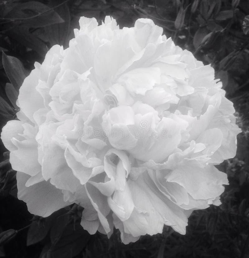 Flor preto e branco da peônia fotografia de stock royalty free