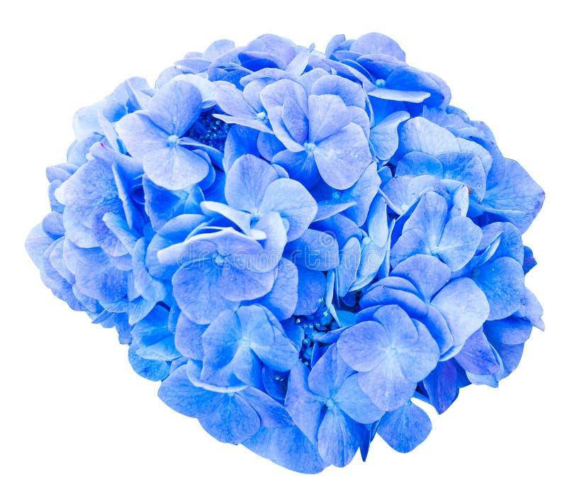 Flor principal da hortênsia do espanador isolada imagem de stock royalty free