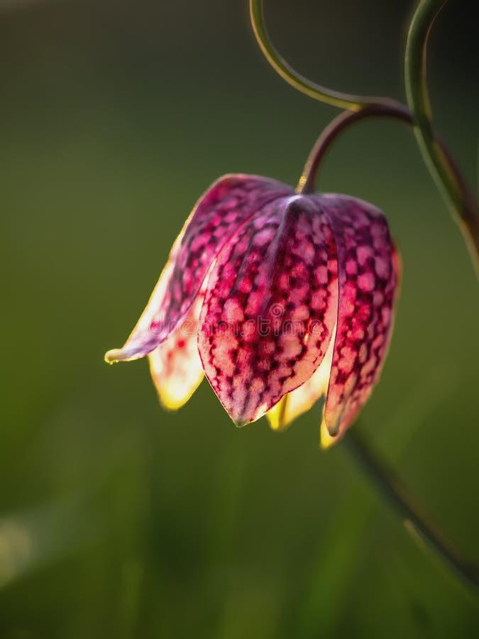 Flor principal da xadrez das espreitadelas selvagens foto de stock