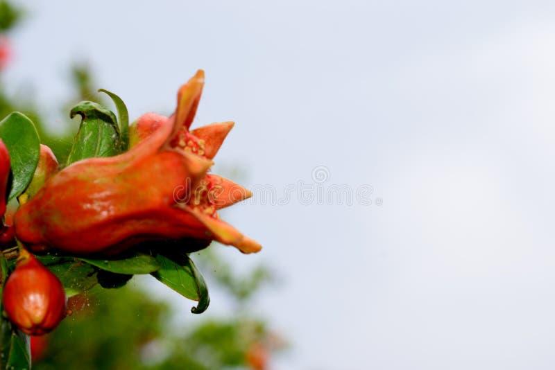 Flor principal de la planta de la granada fotografía de archivo libre de regalías