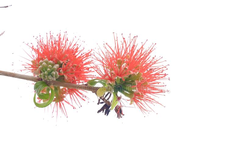 Flor principal rojo dulce de la flor del soplo del poder en un jardín botánico en el fondo aislado blanco imagen de archivo libre de regalías