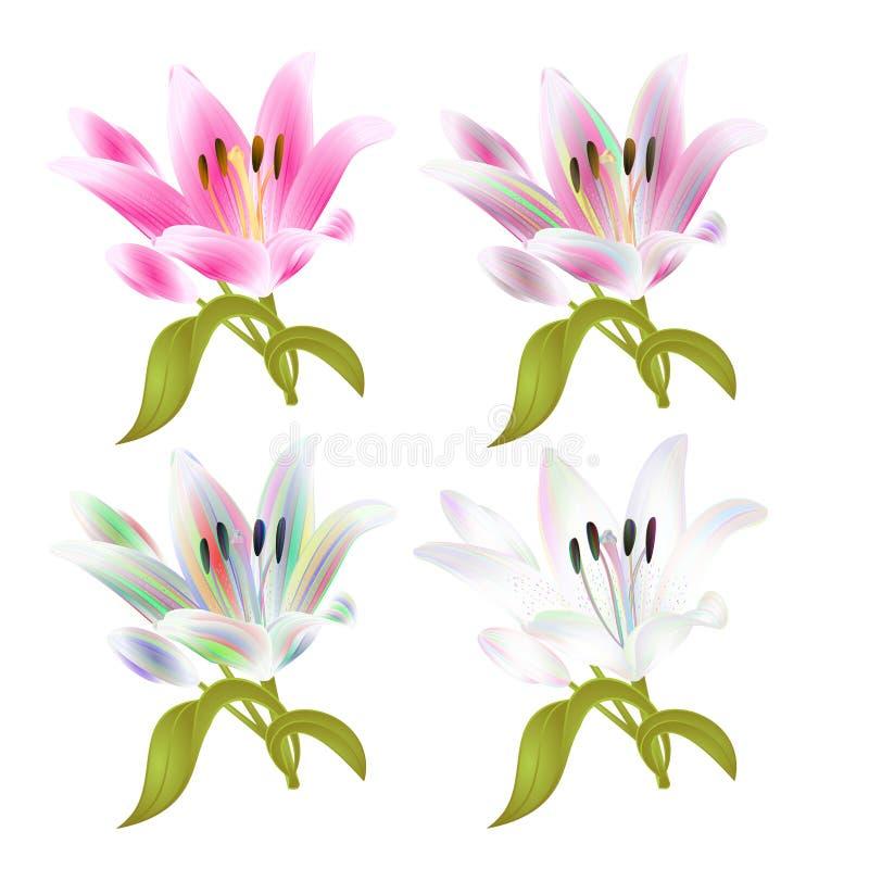 Flor quatro do lírio da haste colorida e Lilium do rosa candidum, em uma ilustração branca do vetor do vintage do fundo editá ilustração do vetor