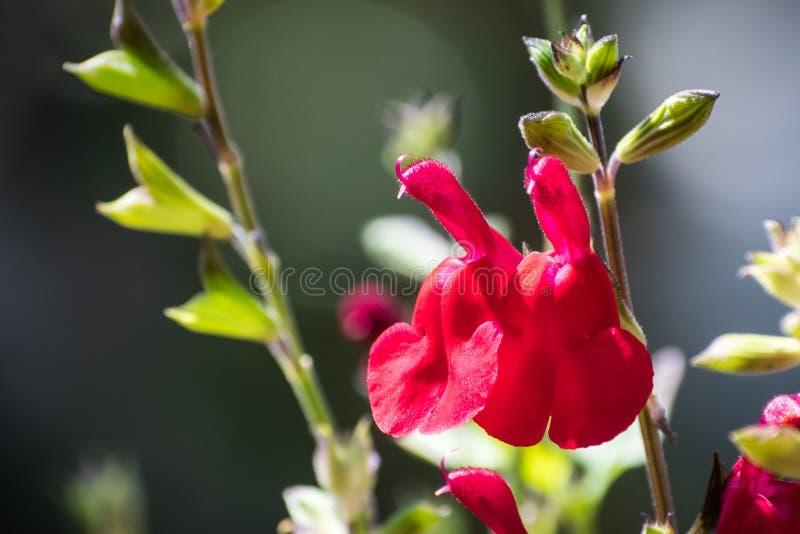 Flor quente de Autumn Sage do ` dos bordos do ` foto de stock