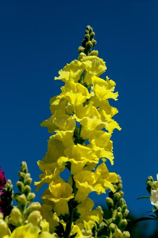 Flor rápida amarilla del dragón fotografía de archivo libre de regalías