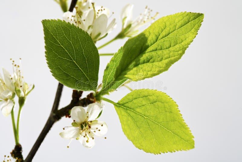 Flor, ramita y hojas del ciruelo imagen de archivo