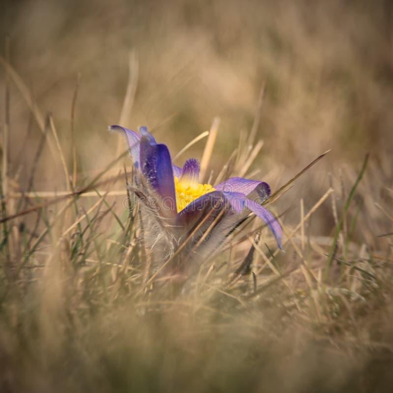 Flor rara da mola fotografia de stock