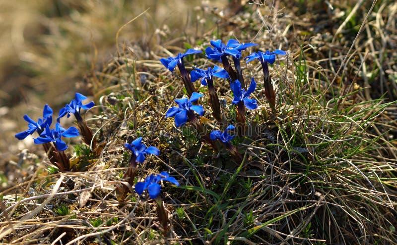 Flor rara da montanha do verna Gentiana na mola fotos de stock royalty free