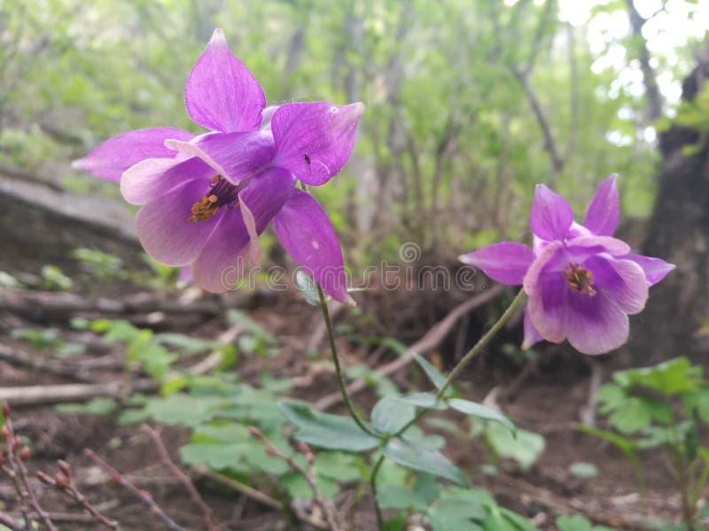 flor rara de la aguileña del especie-norte fotos de archivo