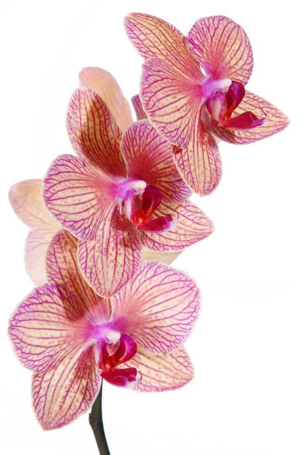 Flor rayada de la orquídea fotos de archivo