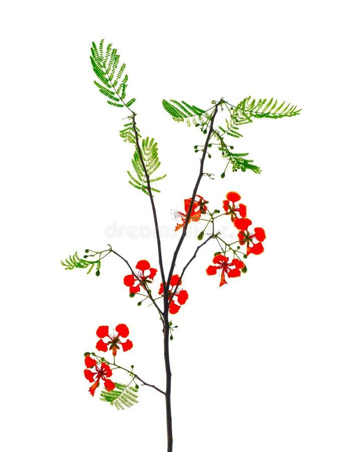 Flor real roja hermosa del regia del Delonix de Poinciana en su rama con las hojas del verde aisladas en el fondo blanco fotografía de archivo
