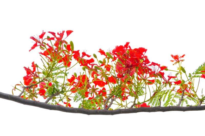 Flor real roja hermosa del regia del Delonix de Poinciana en su rama con las hojas del verde aisladas en el fondo blanco fotografía de archivo libre de regalías
