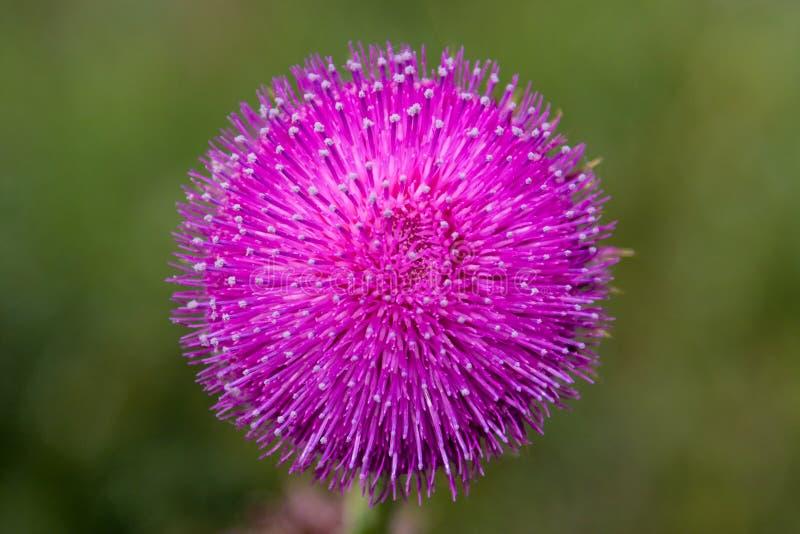 Flor redonda roxa com as pétalas tampadas branco foto de stock