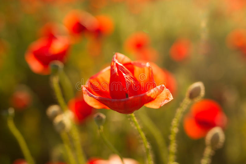 Flor retroiluminada de la amapola imagen de archivo