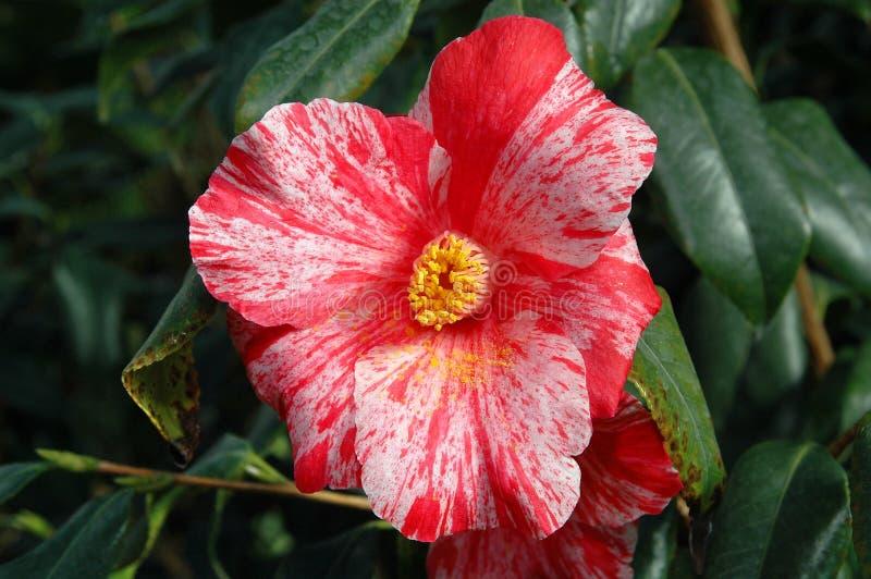 Flor roja 2 fotos de archivo