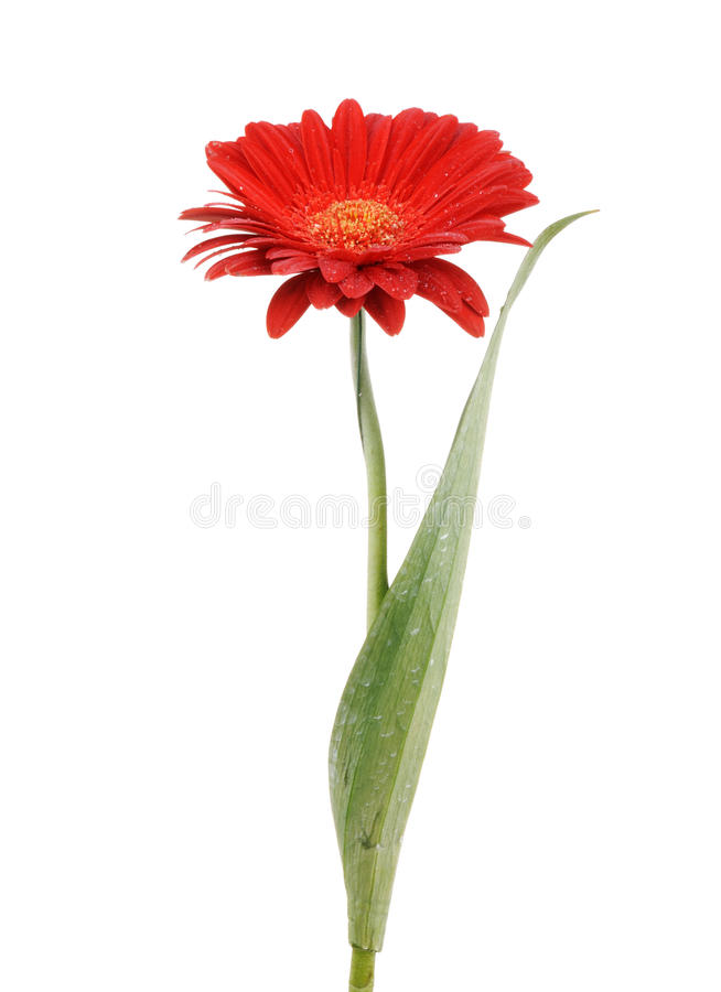 Flor roja aislada fotos de archivo