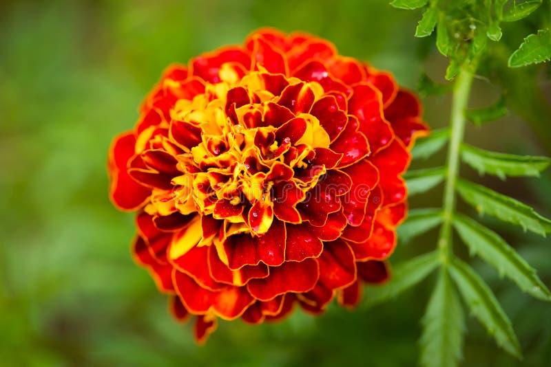 Flor roja amarilla de la maravilla Tagetes Erecta con Leawes Growi imagen de archivo libre de regalías