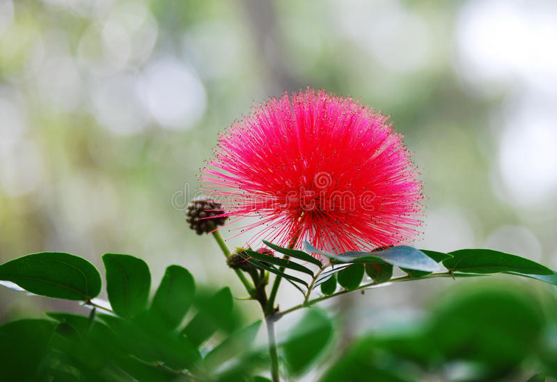 Flor roja australiana del acacia imagen de archivo libre de regalías