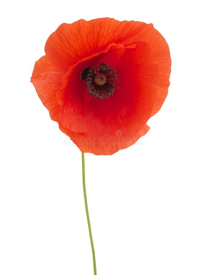 Flor roja brillante de la amapola aislada en blanco fotografía de archivo