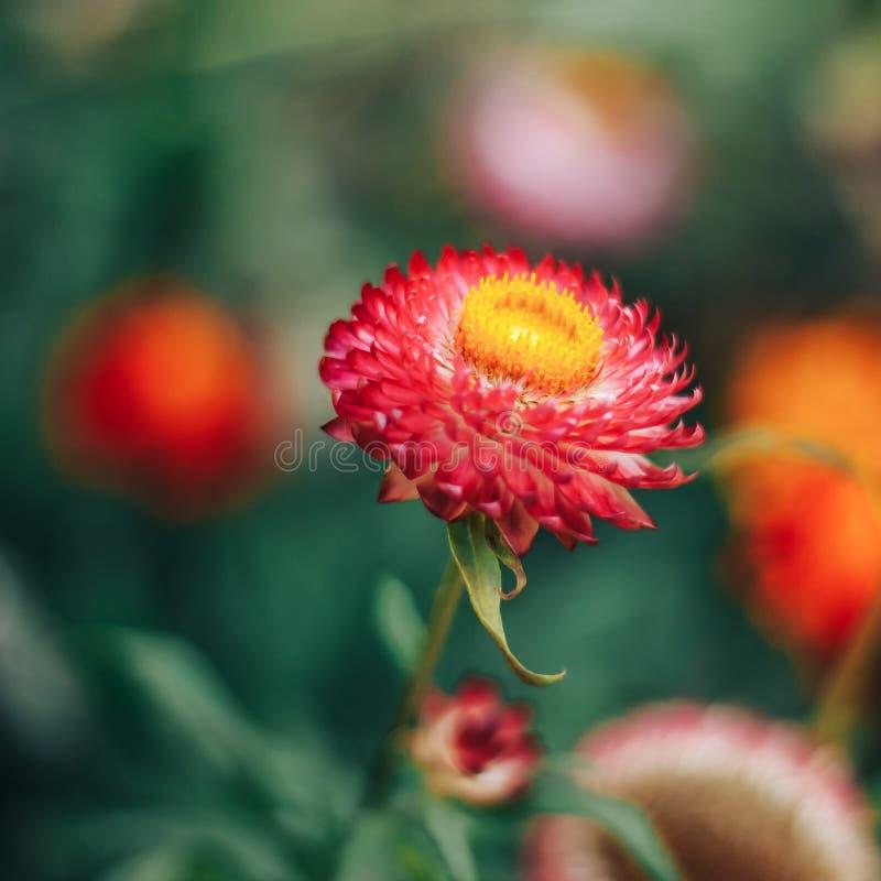Flor roja con el centro amarillo en jardín fotos de archivo