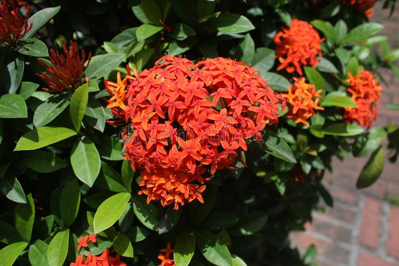 Flor roja de Ixora imagen de archivo libre de regalías