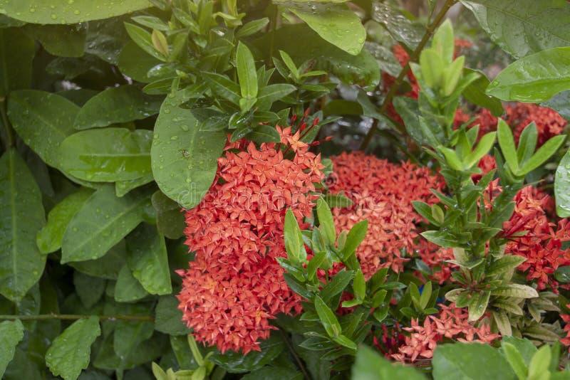 Flor roja de Ixora con gotas de lluvia y la iluminación de la sol en el jardín en fondo de la naturaleza de la falta de definic imagen de archivo
