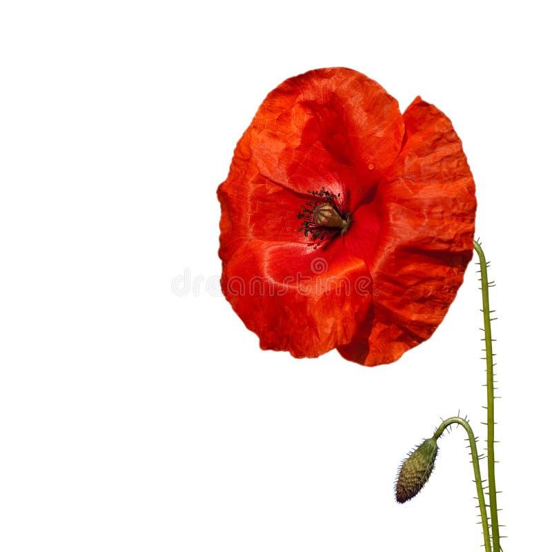 Flor roja de la amapola imágenes de archivo libres de regalías