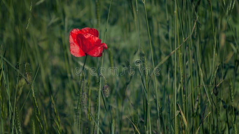 Flor roja de la amapola en una hierba foto de archivo
