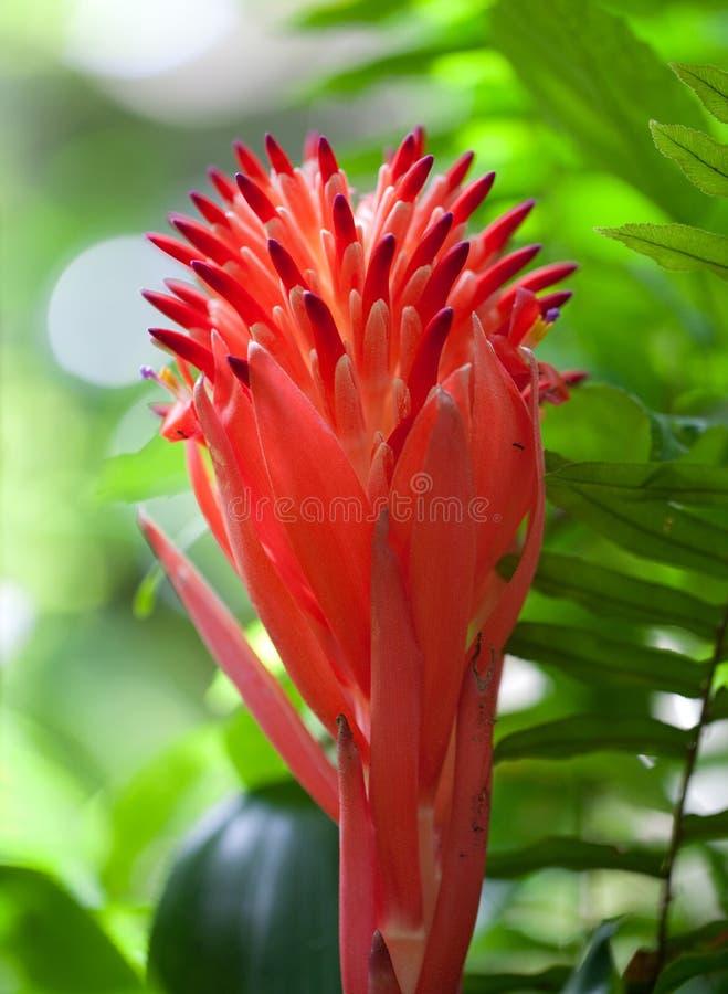 Flor roja de la bromelia en la luz del sol imagen de archivo