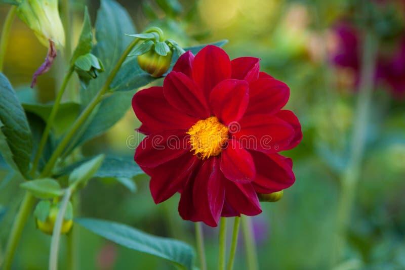 Flor roja de la dalia del Mignon imagenes de archivo