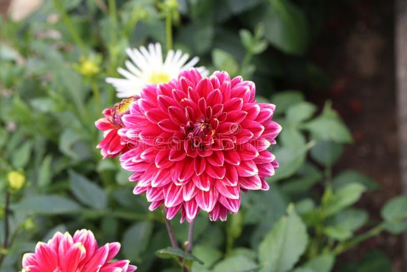 Flor roja de la dalia en la plena floración en el jardín foto de archivo libre de regalías