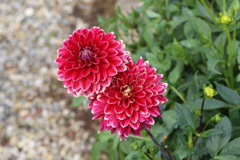 Flor roja de la dalia en la plena floración en el jardín imagen de archivo libre de regalías