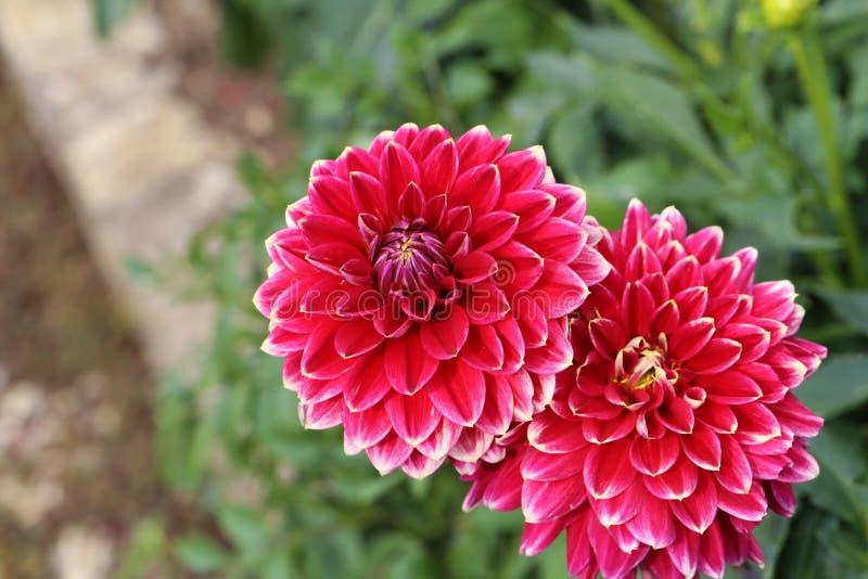 Flor roja de la dalia en la plena floración en el jardín fotografía de archivo libre de regalías