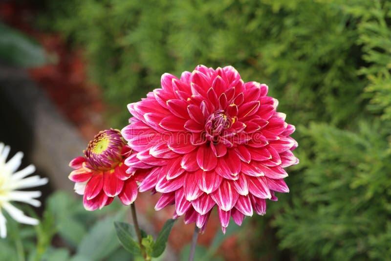 Flor roja de la dalia en la plena floración en el jardín imagen de archivo