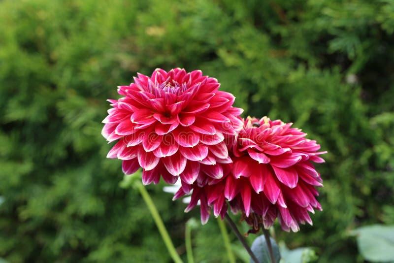 Flor roja de la dalia en la plena floración en el jardín imagenes de archivo