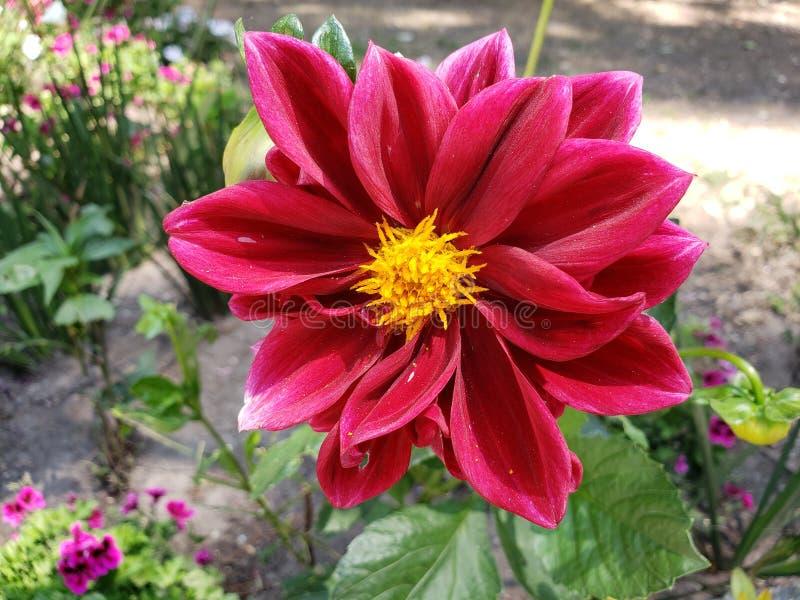 flor roja de la dalia en un jardín imágenes de archivo libres de regalías
