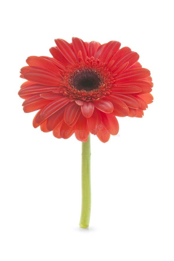 Flor roja de la margarita fotografía de archivo libre de regalías
